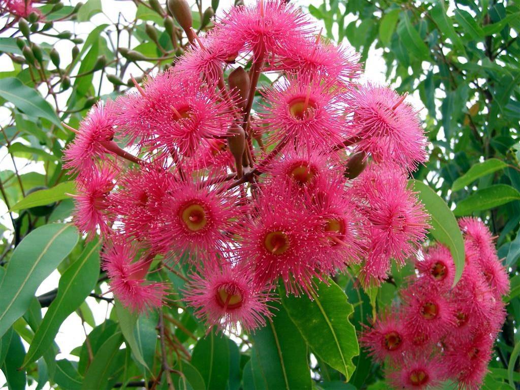 Dwarf gum tree